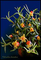Mediocalcar decoratum. A species orchid (color)