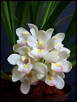 Cymbidium Janis Lin 'Emily Kate'. A hybrid orchid (color)