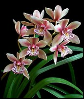 Cymbidium Starbright. A hybrid orchid (color)