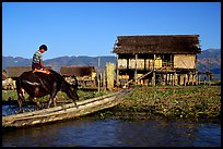 Boy on Water buffalo near the canal at Nyaungshwe. Inle Lake, Myanmar