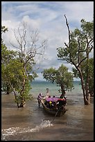 Long tail boat navigating through mangrove trees, Railay. Krabi Province, Thailand (color)