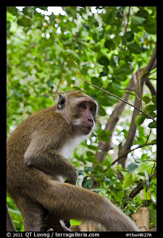 Monkey, Railay. Krabi Province, Thailand (color)
