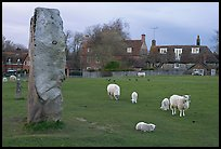 Standing stone, sheep, and village, Avebury, Wiltshire. England, United Kingdom