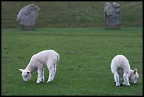 Two lambs and two standing stones, Avebury, Wiltshire. England, United Kingdom