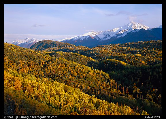 Aspens in fall colors and Chugach mountain, late afternoons. Alaska, USA (color)