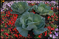 Giant cabbages on floral display. Anchorage, Alaska, USA ( color)