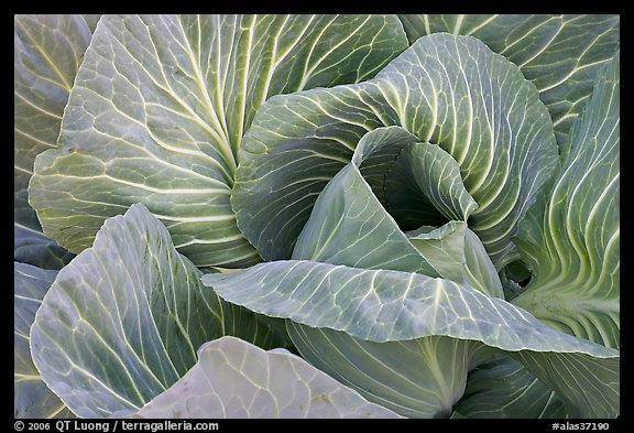 Close up of giant cabbage. Anchorage, Alaska, USA (color)