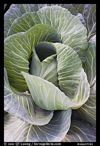Giant cabbage detail. Anchorage, Alaska, USA