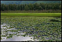 Lilly pond. Alaska, USA (color)