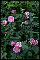 Wild Roses close-up. Alaska, USA (color)