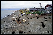 Mushing dogs. Kotzebue, North Western Alaska, USA ( color)