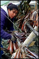 Inupiaq Eskimo woman hanging fish for drying, Ambler. North Western Alaska, USA (color)