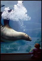 Northern Sea Lion in aquarium, watched by baby, Alaska Sealife center. Seward, Alaska, USA (color)