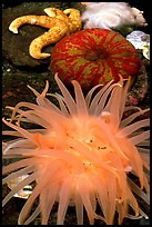A variety of tide pool creatures, Alaska Sealife center. Seward, Alaska, USA (color)