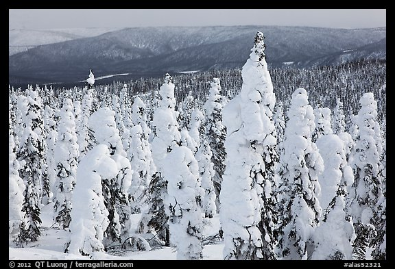 Trees plastered in snow. Alaska, USA