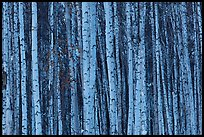 Bare aspen tree trunks. Alaska, USA ( color)