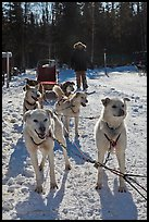 Sled dogs. Chena Hot Springs, Alaska, USA (color)