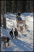 Sled dog team running through curve. Chena Hot Springs, Alaska, USA (color)