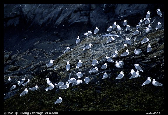 Seabirds on rock. Prince William Sound, Alaska, USA