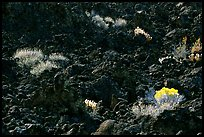 Sage and black lava, Lava Beds National Monument. California, USA (color)