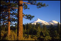 Pines and Mt Shasta seen from the North, late afteroon. California, USA