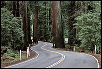 Curving road in redwood forest, Richardson Grove State Park. California, USA