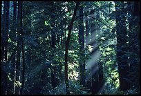 Sunrays in forest. Muir Woods National Monument, California, USA