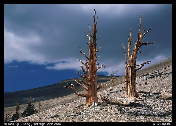 Dead Bristlecone pines on barren slopes with storm clouds, White Mountains. California, USA