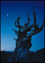 Gnarled Bristlecone Pine tree and moon at sunset, Schulman Grove. California, USA (color)