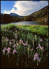 Irises and lake. California, USA ( color)