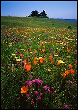 Meadows covered with wildflowers in the spring, Russian Ridge Open Space Preserve. Palo Alto,  California, USA ( color)