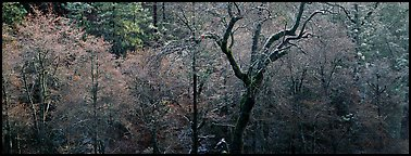 Bare trees in winter. California, USA (Panoramic color)