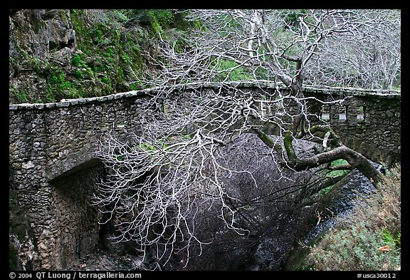 California Buckeye (Aesculus californica) and stone bridge,  Alum Rock Park. San Jose, California, USA