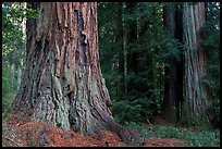 Redwood trees. Big Basin Redwoods State Park,  California, USA ( color)