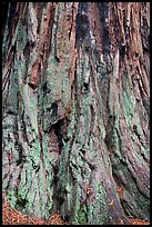 Detail of redwood tree bark. Big Basin Redwoods State Park,  California, USA