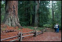 Tourists look at redwood trees. Big Basin Redwoods State Park,  California, USA