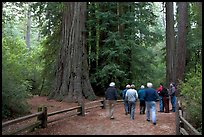 Tourists walking on trail amongst redwood trees. Big Basin Redwoods State Park,  California, USA