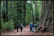 Tourists amongst redwood trees. Big Basin Redwoods State Park,  California, USA (color)