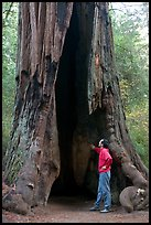 Visitor standing at the base of a hollowed-out redwood tree. Big Basin Redwoods State Park,  California, USA