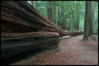 Fallen giant redwood. Big Basin Redwoods State Park,  California, USA (color)