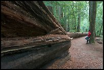 Visitor looking at fallen redwood tree. Big Basin Redwoods State Park,  California, USA ( color)