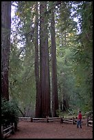 Visitor standing at the base of tall redwood trees. Big Basin Redwoods State Park,  California, USA (color)