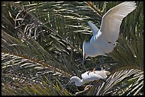 Egrets in palm trees, Baylands. Palo Alto,  California, USA (color)