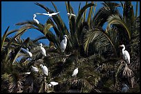 Egret rookery, Baylands. Palo Alto,  California, USA (color)