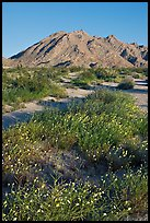 Wildflowers and desert mountains, Sheephole Valley Wilderness. Mojave Trails National Monument, California, USA ( color)