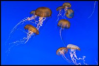 Graceful jellies, Monterey Bay Aquarium. Monterey, California, USA ( color)