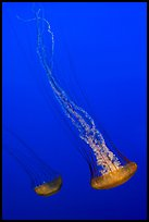 Two  Sea Nettle Jellies, Monterey Bay Aquarium. Monterey, California, USA ( color)