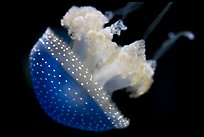 Blue jelly, Monterey Bay Aquarium. Monterey, California, USA ( color)