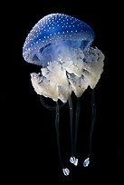 Blue jellyfish, Monterey Bay Aquarium. Monterey, California, USA