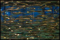 Swarm of Anchovies, Monterey Bay Aquarium. Monterey, California, USA